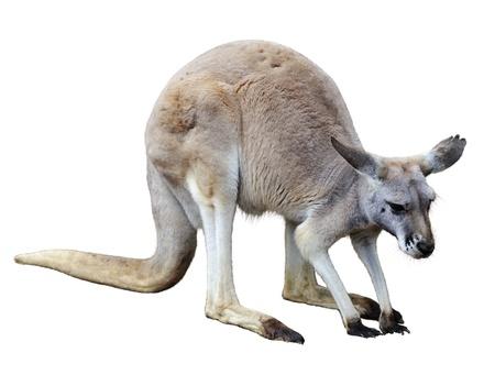 Kangaroo Isolated On White Background Imagens