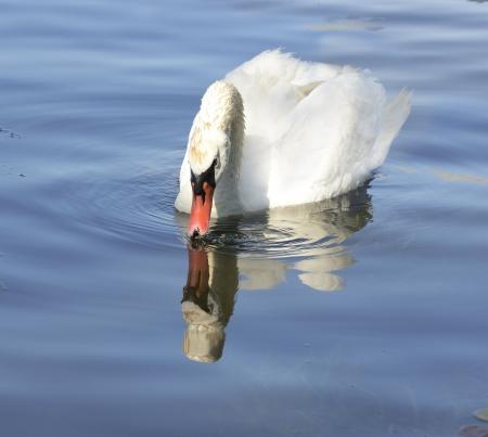 waterbird: White Swan On The Lake Stock Photo