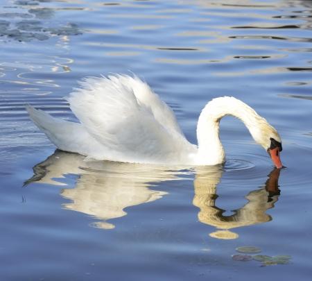 White Swan On The Lake Reklamní fotografie