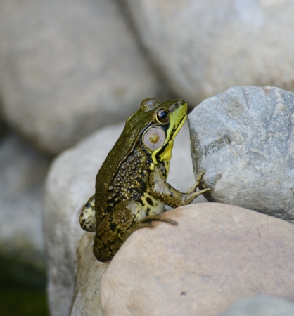 Green Water Frog Sitting On The Rocks photo