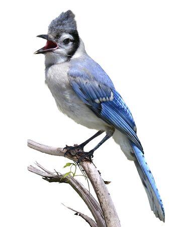 bird on branch: Blue Jay Bird Isolated On White