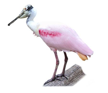 waterbird: Roseate Spoonbill  Platalea ajaja  Isolated On White