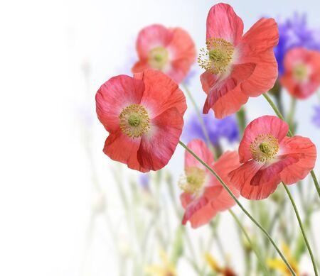Amapola Roja Y Flores Silvestres Para El Fondo Foto de archivo - 14562844
