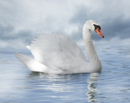 swimming swan: White Swan On The Lake And A Rainy Sky