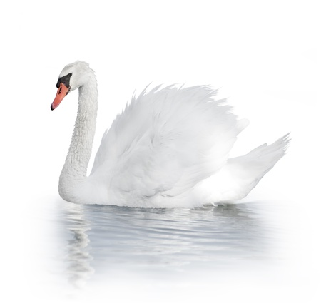 White Swan On The Water On White Background