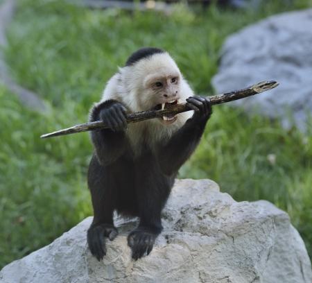 White-Throated Capuchin Monkey Gnaws Stick  Stock Photo
