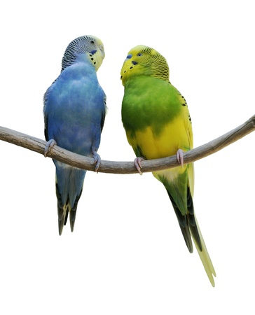 budgie: Two Budgerigars On A White Background