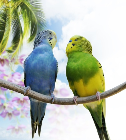 budgie: Two Budgerigars Perching On A Branch