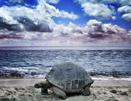 large turtle: Big Turtle On The Tropical Ocean Beach
