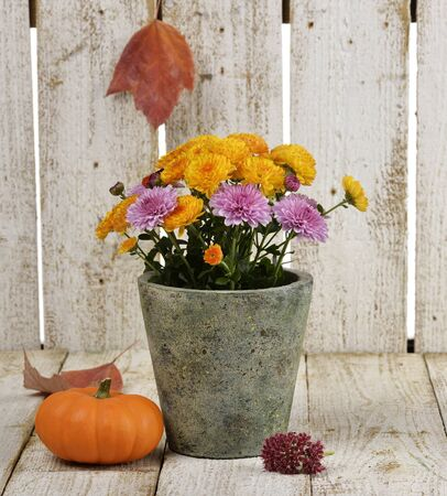 mums: Mums Flowers And A Pumpkin On Wooden Background