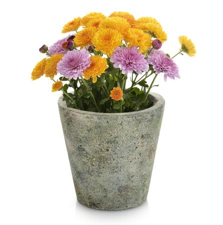 flower pot: Mums Flowers In A Flower Pot Stock Photo
