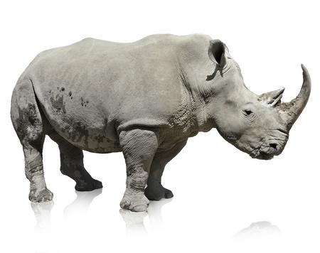 rhino: Portrait Of A Rhinoceros On White Background  Stock Photo