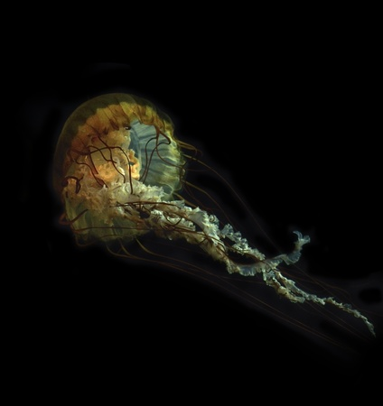 jelly fish: Jelly Fish On A Black Background