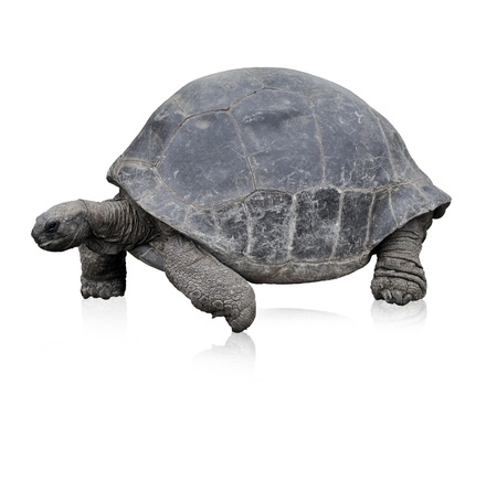 large turtle: Galapagos Giant Tortoise,Isolated On White Stock Photo