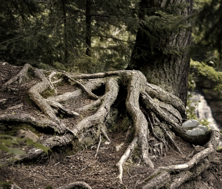 deep roots: Old Pine Tree Roots In A Deep Forest