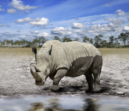 White Rhino By The Water Reklamní fotografie