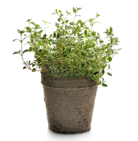 Thyme Herb Plant In A Paper Pot