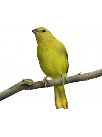 Yellow Canary On  White Background Stock Photo