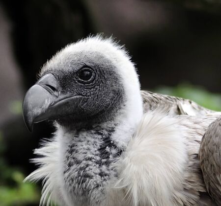 A Young Griffon Vulture Portrait photo
