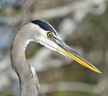 waterbird: A Great Blue Heron Portrait