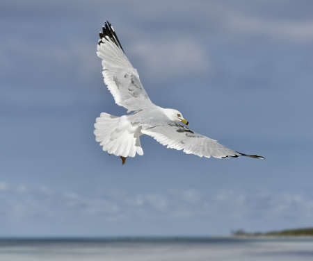 waterbird: A Seagull, Soaring In The Blue Sky