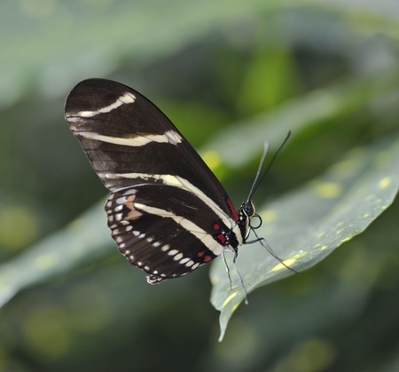 longwing: Zebra Longwing (Heliconius Charitonius) Butterfly