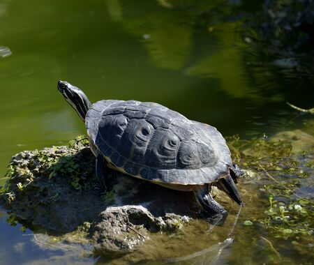 Turtle Basking on a Rock Stock Photo - 18210071