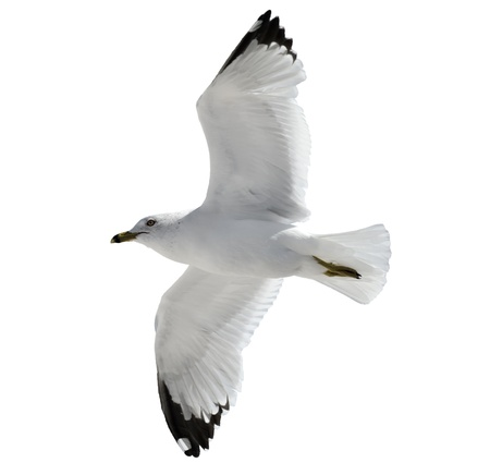 Flying  Seagull  On  White Background