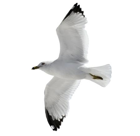 mouettes: Voler mouette sur fond blanc
