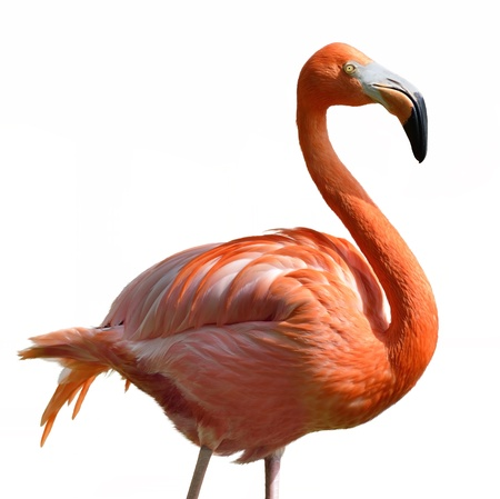 Pink Flamingo  On White Background  版權商用圖片