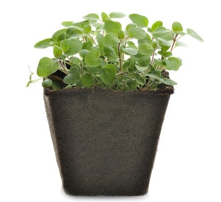 Oregano Kruid In A Paper Pot Stockfoto - 18393813