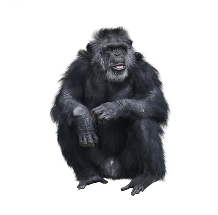 Chimpanzee Sitting On White Background Foto de archivo