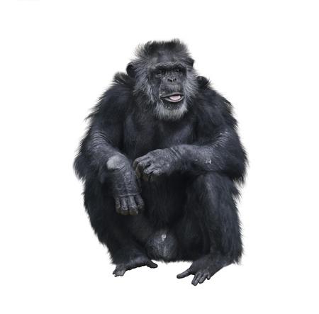 Chimpanzee Sitting On White Background Zdjęcie Seryjne
