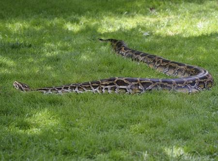 ball python: Python In The Grass,Close Up