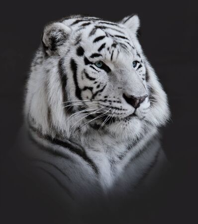 white tiger: White  Tiger Portrait On Dark Background Stock Photo