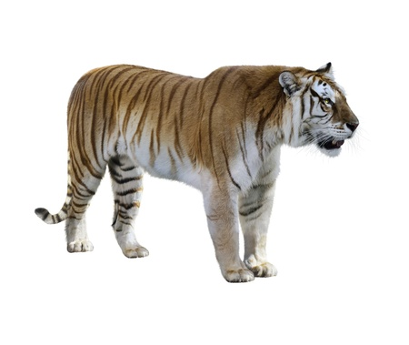 Brown Tiger On White Background Banque d'images