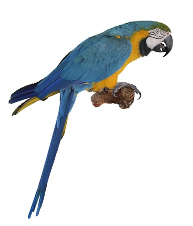 Blue Macaw Parrot On White Background