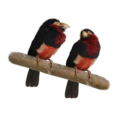 Red-And-Yellow Barbets  Trachyphonus Erythrocephalus  On White Background Stock Photo