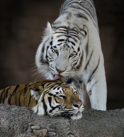 White And Brown Tigers Resting photo