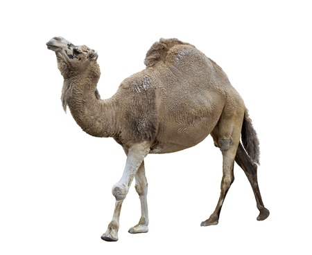 Single-Humped Camel On White Background Archivio Fotografico