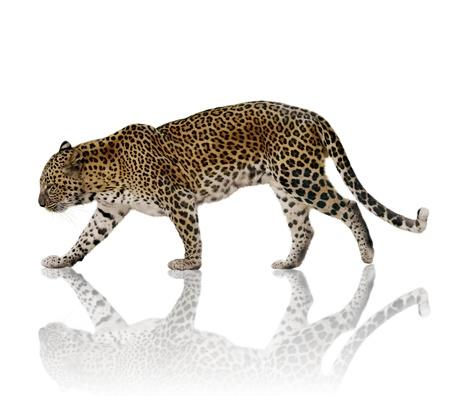 Een Mannelijke Luipaard Tegen Een Witte Achtergrond Stockfoto