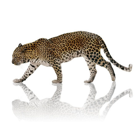 A Male Leopard Against A White Background