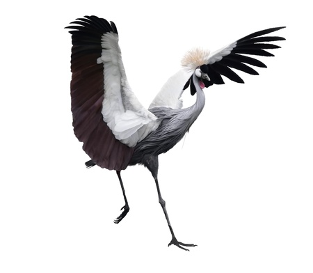 Grey Crowned Crane On White Background