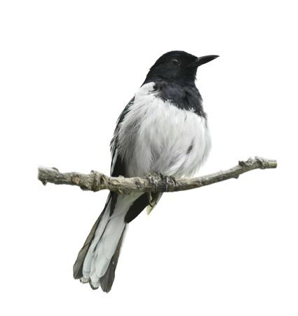 Oriental Magpie Robin Op Witte Achtergrond