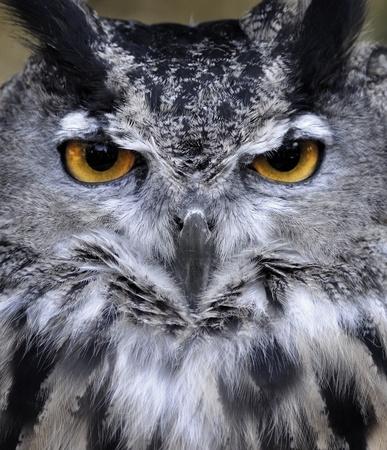 horned: Great Horned Owl Bubo virginianus Retrato