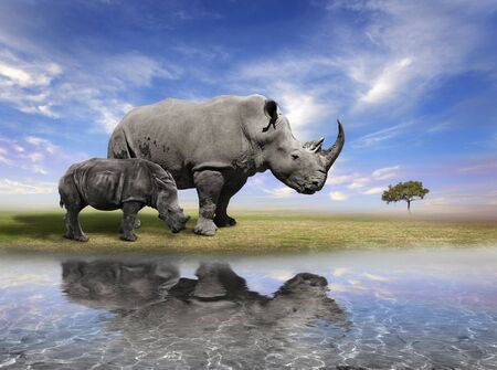 Mother Rhino And A Calf With Water Reflection  Reklamní fotografie