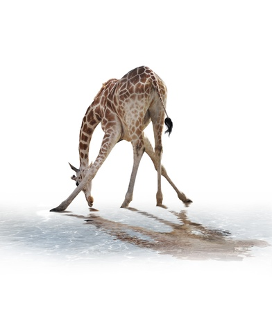 A Giraffe Drinking Water On White Background