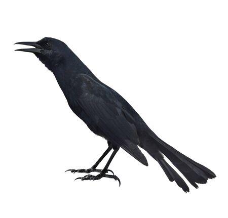 blackbird: A Blackbird On White Background Stock Photo