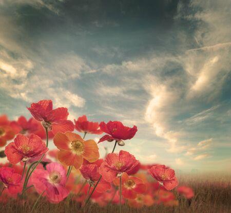 poppy flowers: Poppy Flowers In A Field
