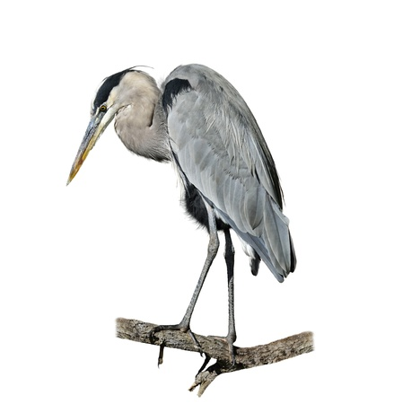 Great Blue Heron Perching On White Background photo